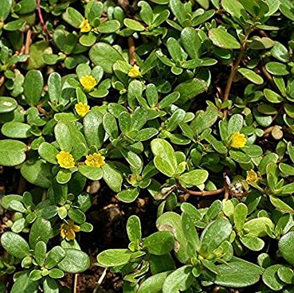 Amazon.com : Green Purslane Seeds (Portulaca oleracea) 40+ Rare Heirloom  Herb Seeds in FROZEN SEED CAPSULES for The Gardener & Rare Seeds Collector  - Plant Seeds Now or Save Seeds for Years :