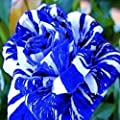 Blue Dragon Rose Bush 20 Seeds~rare
