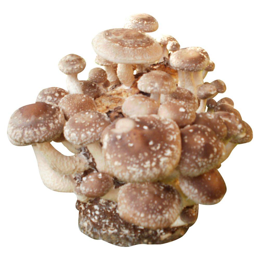 Shiitake-Pilzzuchtkultur mit Pilzzuchtbag Pilzzucht Pilze selbst züchten Pilzmaennchen