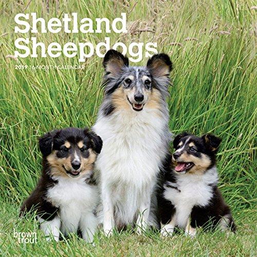 Shetland Sheepdogs 2019 7 x 7 Inch Monthly Mini Wall Calendar, Animals Dog Breeds