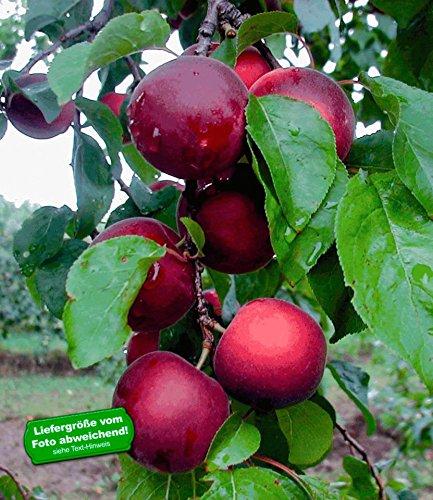 BALDUR-Garten Cherrykose®' Kreuzung aus Kirschpflaume & Aprikose, 1 Pflanze