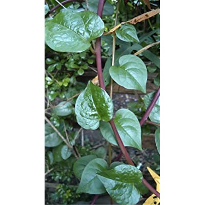 Indian Spinach (Basella rubra) Vegetable Plant Heirloom Seeds : Garden & Outdoor
