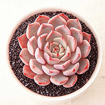 amazon com echeveria lola succulent plant gorgeous pale tones of