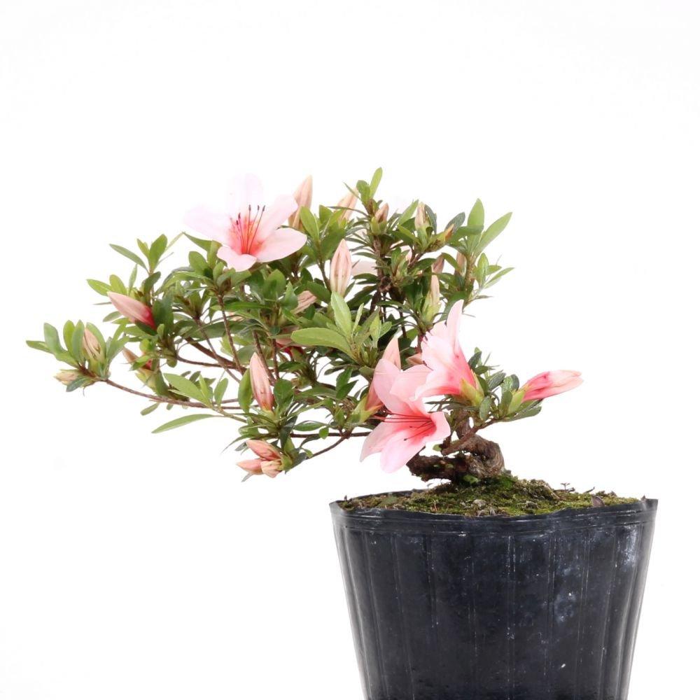 Bonsai - Jap. Satsuki Azalee 'Hi-no-Maru', Rhododendron indicum 183/61