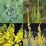 HEIRLOOM NON GMO Mullein 200 seeds (Medicinal)