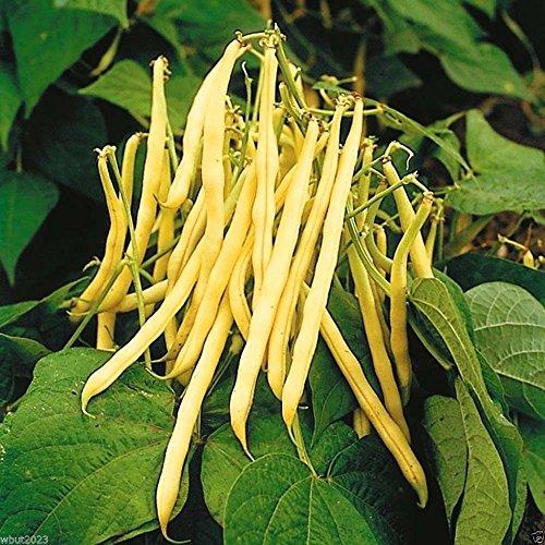 TopNotch Gold Wax Bean ( Bush) 1/4 lb Seeds - Earliest Harvest 45-50 Days !