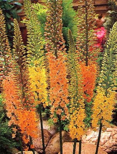 Foxtail Cluster (Erfo-Hybrid Foxtail Lily 12 Seeds/Seed)