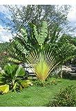 50 Traveler's Palm Tree Heirloom Seeds