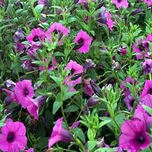 (Petunia-Wild Violacea- 100 Seeds)
