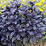Outsidepride Sweet Basil Dark Opal - 1000 Seeds