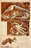 1923 Rotogravure Octopus Octopoda Cephalopod Mollusc Tentacle Sucker Marine Life - Original Rotogravure