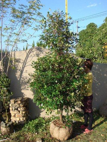 モッコク 単木 樹高H:2500mm B004KU6Q22