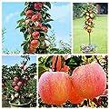 Fruit Seeds - Delaman Bonsai Dwarf Apple Tree Seeds, 20 Pcs