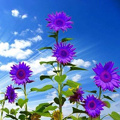 MelysUS 10pcs Rare Purple Sunflower Seeds Bonsai Annual Helianthus Annuus Flower Seeds Flowers : Garden & Outdoor