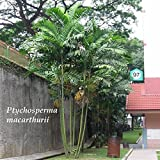 ~MacArthur Palm Tree~ Ptychosperma macarthurii Palm Potted Plant Small Seedling