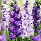 Blue Moon Mix Large Flowering Gladiolus 10 Bulbs