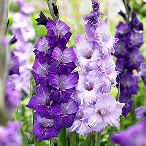 Gladiolus Mix - Blue Moon Mix Large Flowering Gladiolus 10 Bulbs