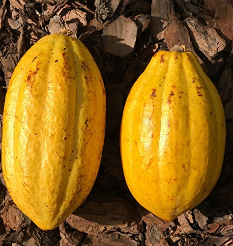 New and Healthy Yellow Theobroma Cacao Cocoa Chocolate Tropical Fruit Tree - Potted Plant - Fruit Cocoa