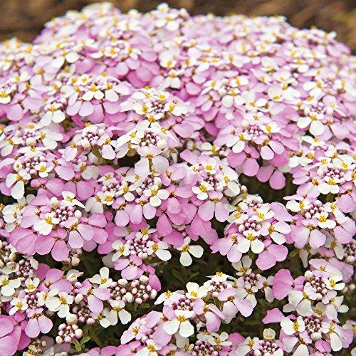 NEW! 50+ IBERIS PINK EVERGREEN CANDYTUFT FLOWER SEEDS MIX / DEER RESISTANT ()