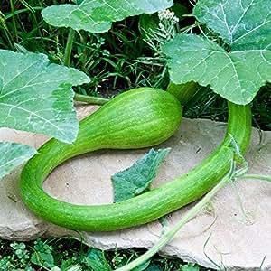 Climbing Zucchini,100 Seeds Trombocino,Rampicante, Italian Trombone Squash