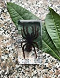 QTMY Biology Science World Collection of Real Insect Specimen Paperweight for Kids Education Toy (Black Moss Spider(Tarantula))