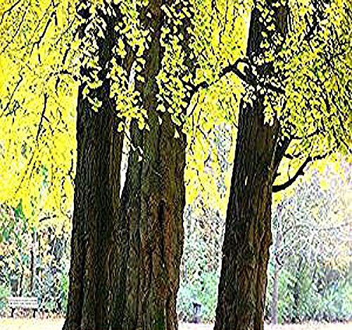 Ginkgo Biloba Maidenhair Tree - Ginkgo biloba - Maidenhair TREE SEEDS - Great Bonsai Specimen - Cold Hardy Zones 3-9 - By MySeeds.Co (10 Packs)