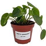 "Hirt's Gardens Chinese Money Plant - Pilea peperomioides - 4"" Pot"