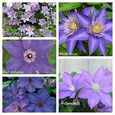 Blues Parade Clematis Mix (Bare Root) Early, Large-Flowered Vine, Now Shipping ! (6 Plants) by AchmadAnam : Garden & Outdoor