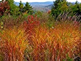 MISCANTHUS Flame Grass Ornamental Grass Perennial Plant Spring or Fall, 25 Seed