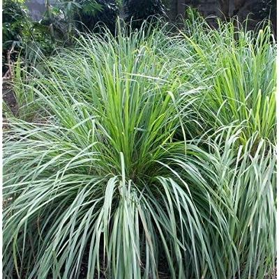 Seeds Lemon Grass (Cymbopogon flexuosus) Get 25 Seeds : Garden & Outdoor