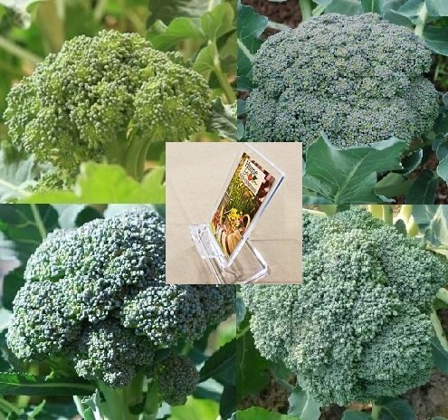 Homegrown Broccoli Seeds, 225 Seeds, Organic Broccoli Mix