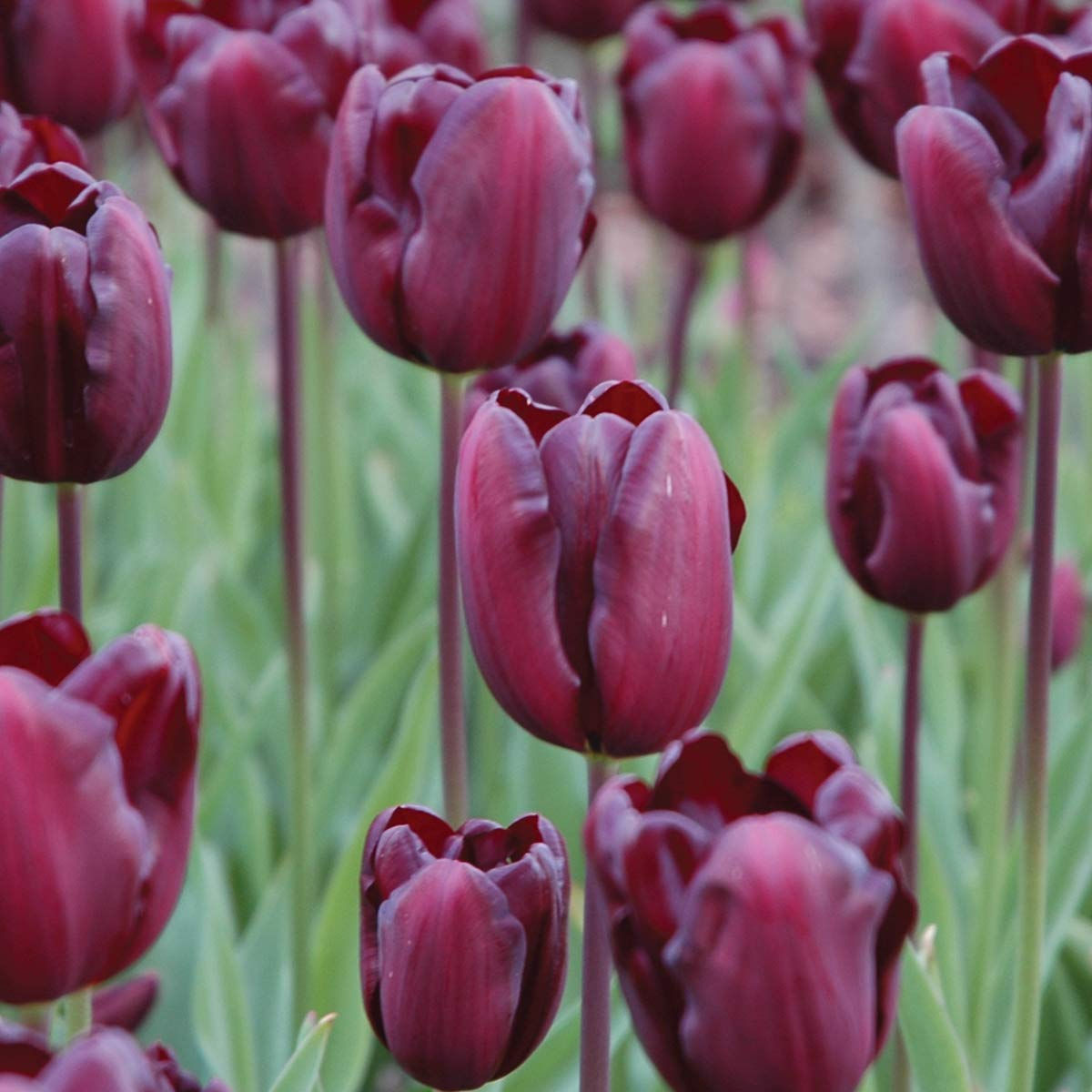 Burpee Continental Tulip | 10 Large Flowering Fall Bulbs for Planting, Burgandy by Burpee