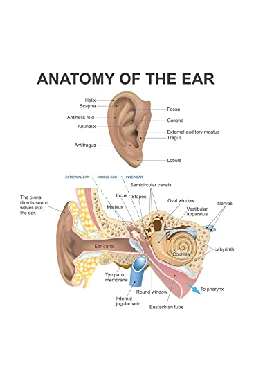 anatomy of the human ear diagram chart cool wall decor art print poster 12x18 Ear Bones Diagram for Middle School