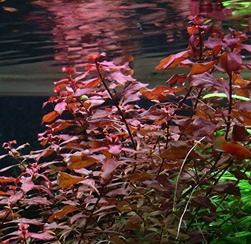 Picture of Ludwigia sp. Mini 'Super Red' Live Aquarium Freshwater Plants Rare Repens Rubin by New