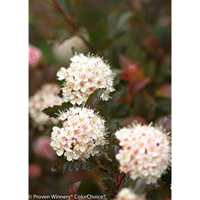 "AchmadAnam - 4"" Pot - Coppertina Ninebark Perennial Shrub - Physocarpus, Plant, Bush, Shrub : Garden & Outdoor"