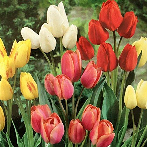 Tulipano Multiflora Mix (8 BULBI) Vivai le Georgiche