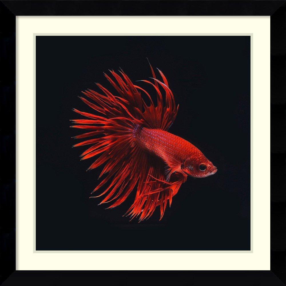 Amazon.com: Framed Art Print \'Red Betta Fish\' by PhotoINC Studio ...