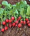Cherry Belle Radish 800 Seeds - BONUS PACK!