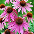 100+ ORGANICALLY GROWN Echinacea Purpurea Purple Coneflower Seeds Heirloom NON-GMO Perennial, Healthy Herb Flower, From USA