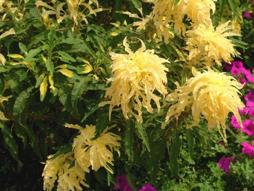 50 AURORA YELLOW AMARANTHUS Tricolor Josephs Coat Flower Seeds *Comb S/H