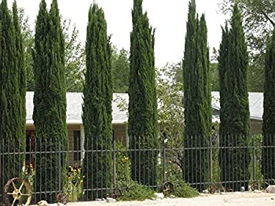 By DUBU 50 Italian Cypress (Cupressus Sempervirens)Tree Seeds