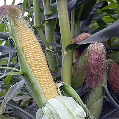 Honey Select Hybrid Triplesweet Corn Garden Seeds (Treated) - Non-GMO Vegetable Gardening Seeds - Triple Sweet Corn