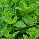 """Clovers Garden Mojito Mint Plant – Non-GMO - Two (2) Live Plants – Not Seeds –Each 4""""-7"""" Tal l- In 3.5 Inch Pots - Includes Clovers Garden Copyrighted Plant Care Guide"""