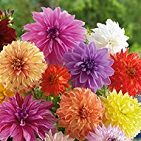 Dinnerplate Dahlia Bulbs - Mixed Colors - 3 Large Tubers Per Package