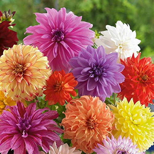 (Dinnerplate Dahlia Bulbs - Mixed Colors - 3 Large Tubers Per)
