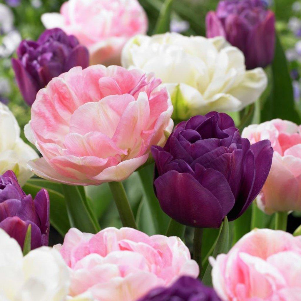 Van Zyverden Tulips Double Peony Blend Set of 15 bulbs by VAN ZYVERDEN