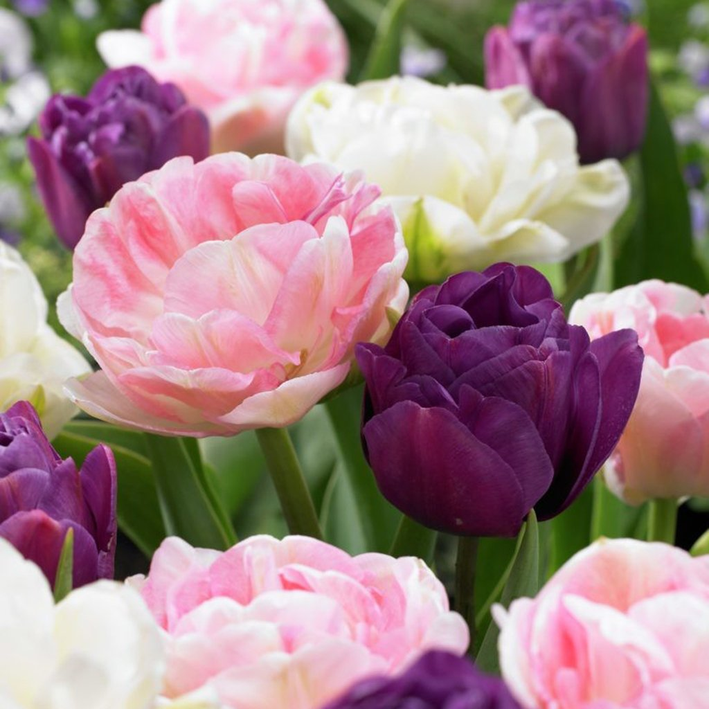 Van Zyverden Tulips Double Peony Blend Set of 15 Bulbs