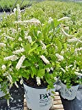 Cheap Proven Winners – Itea virginica Little Henry (Sweetspire) Shrub, 2 – Size Container