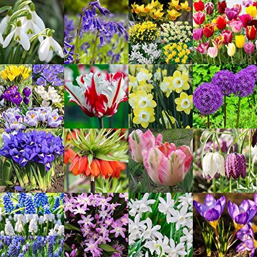 Casavidas Seeds Package: 100: Spring Flowering Bulbs | Snowdrops | Bluebells | Daffodils | Tulips | Crocus |