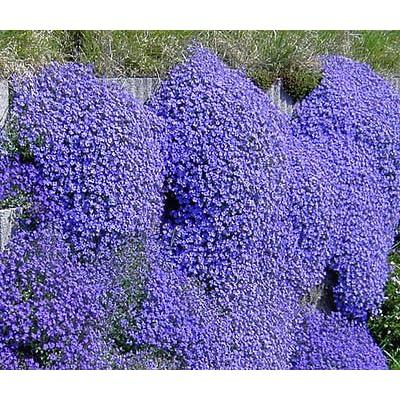 AUBRIETA Rock CRESS Cascade Blue Aubrieta Hybrida Superbissima - 50 Seeds : Garden & Outdoor
